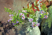 Aster  Framed Prints - Mountain Wildflowers Framed Print by Kristin Elmquist