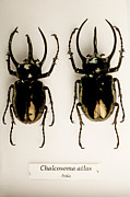 Labelled Posters - Mounted Scarab Beetles Poster by Mauro Fermariello