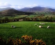 Domesticated Animals Framed Prints - Mourne Mountains From Trassey Road, Co Framed Print by The Irish Image Collection