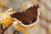 Byron Varvarigos - Mourning Cloak Butterfly