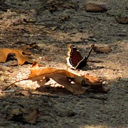 Marilyn Smith - Mourning Cloak