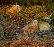Mourning Dove Posters - Mourning Dove 2 Poster by Marjorie Imbeau