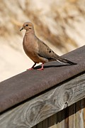 Birds Of Wells Mills Prints Posters - Mourning Dove 235 Poster by Joyce StJames