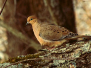 Earth Tones Posters - Mourning Dove at Dusk Poster by Amy Tyler