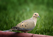 Rain Digital Art Metal Prints - Mourning Dove Metal Print by Bill Tiepelman