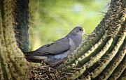 Mourning Dove Posters - Mourning Dove in the Morning  Poster by Saija  Lehtonen