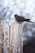 Kimberly Deverell - Mourning Dove