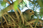 Mourning Dove Posters - Mourning Dove on Nest Poster by Thomas R Fletcher