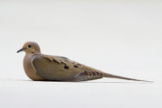 Mourning Dove Posters - Mourning Dove Poster by Shelly OBrien