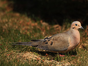 Mourning Dove Posters - Mourning Dove Spring 2012 Poster by Marjorie Imbeau