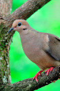 Hunted Prints - Mourning Dove Print by Thomas R Fletcher