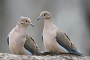 Peace Symbol Prints - Mourning Doves Print by Bonnie Barry