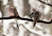 Marie Fortin - Mourning Doves