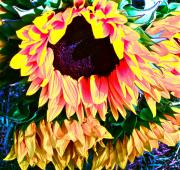 Sunflower Photograph Posters - Mourning Poster by Gwyn Newcombe