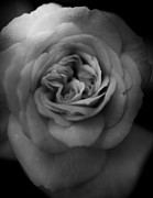 Macro Photo Prints - Mourning You Print by Laurie Search