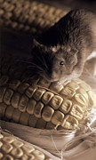 Ripe Photos - Mouse and Field Corn by Janeen Wassink Searles