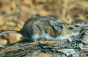 Mouse Art - Mouse On A Log by Photo Researchers, Inc.