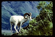 Absolute Photography - Moutain Goat