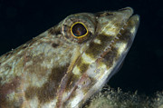 New Britain Posters - Mouth Of A Variegated Lizardfish, Papua Poster by Steve Jones