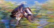 Birds Of Prey Print Prints - Moving Vulture Print by Basie Van Zyl