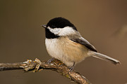 Black-capped Prints - Mr Adorable Print by Reflective Moments  Photography and Digital Art Images