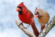 Male Cardinals Posters - Mr. and Mrs. Cardinal Poster by Bonnie Barry