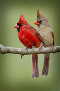Male Cardinals Framed Prints - Mr. and Mrs. Northern Cardinal Framed Print by Bonnie Barry