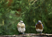 Bird Feeding Posters - Mr and Mrs Poster by Rob Travis