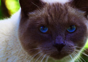 Siamese Photo Prints - Mr. Blue Eyes Print by Sharon  Talson