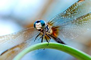 Blue Dragon Fly Prints - Mr Fly Print by Kendra Clayton