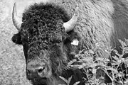 Bison Photos Posters - Mr Goodnights Bison Poster by Melany Sarafis
