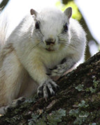 Fox Squirrel Art - Mr. Inquisitive I  by Betsy A Cutler East Coast Barrier Islands