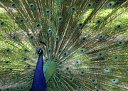 Fan Acrylic Prints - Mr. Peacock Acrylic Print by Sabrina L Ryan