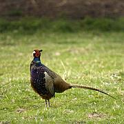 Pheasant Photos - Mr Pheasant by Angel  Tarantella