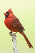 Male Northern Cardinal Posters - Mr. Redbird Poster by Bonnie Barry