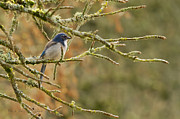 Scrub Jay Posters - Mr Scrub Jay Poster by Reflective Moments  Photography and Digital Art Images