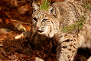Bobcat Photos - Mr. Whiskers by Lori Tambakis