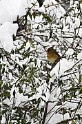 Winter Storm Photos - Mrs Cardinal in the Jasmine by Teresa Mucha