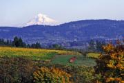 Fall Colors Digital Art Prints - Mt. Hood from a Dundee Hills Vineyard Print by Margaret Hood