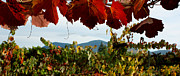 Grape Leaves Photos - Mt Konocti from Steele Winery by Gail Salituri