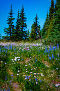 Mt Rainier National Park Prints - Mt Rainier Meadow Print by David Patterson