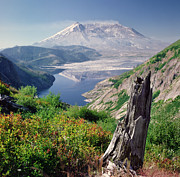 Tree Stump Posters - Mt. St. Helens Poster by Danielle D. Hughson