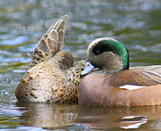 Quack Photos - Much Too Shy by Robert Frederick