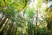 Green Bay Prints - Muir Woods Print by Ariane Moshayedi