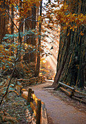 Streaming Light Prints - Muir Woods In Fall Print by Patricia Stalter