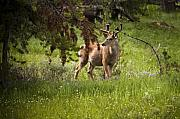 Mule Photos - Mule Buck Deer by Chad Davis