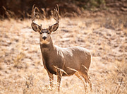 Sand Dunes Photo Originals - Mule Deer Buck by Adam Pender