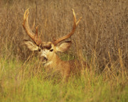 Winter Sleep Photos - Mule Deer Buck Hiding In Tall Grass by Max Allen