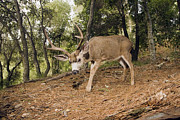 Aptos Posters - Mule Deer Buck In Forest Aptos Poster by Sebastian Kennerknecht