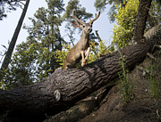 Aptos Posters - Mule Deer Buck Jumping Aptos California Poster by Sebastian Kennerknecht
